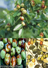 20 Chinese Jujube Seeds Awesome Tropical Fruit Plant