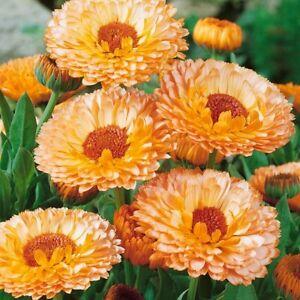 Calendula Flower Seeds Pink Surprise Medicinal Edible Plant Pot Marigold Annual