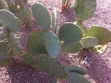 Texas Prickly Pear Cactus -3 Pads (Cuttings)