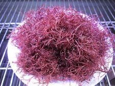 """LIVE MACRO ALGAE, """"RED OGO"""" GRACILARIA PARVISPORA, Aquacultured"""