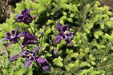 Ancolie violette x 10 graines