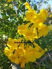 Bignonia jaune - Tecoma stans - bloom spectaculaire 50 graines frescas