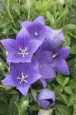 100 Purple Balloon Flower Seeds Perennial + gift
