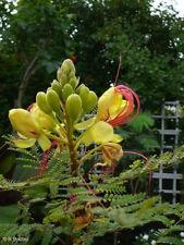 Paradiesvogelbusch: im Kübel oder im Garten sehr dekorativ.