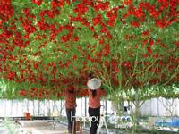 50 PCS Seeds Italian Tree Tomato Bonsai Vegetable Plants Free Shipping 2019 New
