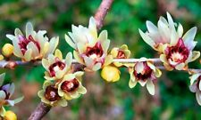Chimonanthus Praecox Shrub 10/50/200 Seeds, Fragrant Wintersweet, Hardy Allspice