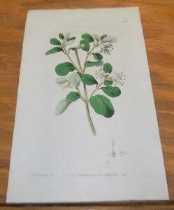 1821 Antique COLOR Floral Print///WHITE CORREA, or, BOTANY-BAY TEA-TREE
