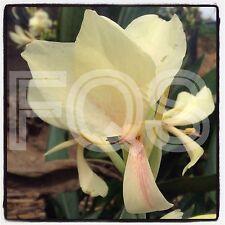 15 x Tropical Canna Seeds Cream Flower Pink Splash