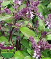 """USA"" HEIRLOOM Organic African Blue Basil 50-400 seeds"
