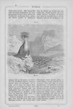 Rochers Pingouin Eudyptes Chrysocome Gravure sur bois de 1868 Pingouin Southern Rockhopper