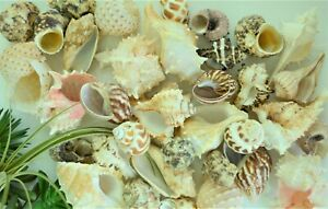 """10 SMALL .5-1"""" ASSORTED TURBO SNAIL SHELLS HERMIT CRAB CRAFTS BEACH DECOR"""