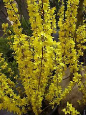 Forsythie Forsythia Minigold 40-60cm Frühlingsblüher