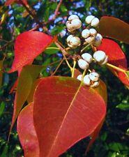 5 LIVE PLANT CHINESE TALLOW TREE POPCORN CHICKEN FLORIDA ASPEN TRIADICA SEBIFERA