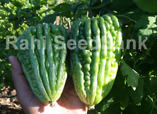 Bitter Melon Giant Round - The Most Rare & Unusual Bitter Melon Variety - 5 Seed
