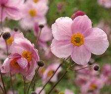 ANEMONE PINK SAUCER Anemone Hupehensis - 100 Bulk Seeds