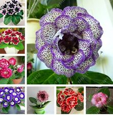100 pcs/bag rare real gloxinia seeds, beautiful bonsai sinningia gloxinia flower