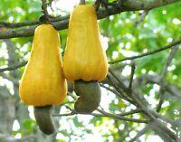 Cashewbaum (Anacardium occidentale) 3 Samen