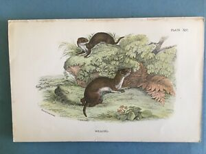 Natural history, Coloured engraving of a Weasel, circa 1875