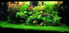 50 Parvula Hairgrass live aquarium carpet plant fish tank fern Eleocharis grass
