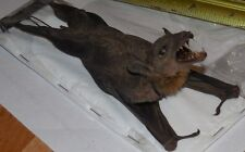 EONYCTERIS SPELAEA REAL HANGING BACK BAT INDONESIAN TAXIDERMY