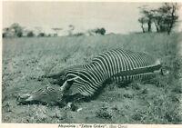 Carte ETHIOPIE Abyssinie Zèbre Grévy Bas Omoi  Semble tué par un chasseur