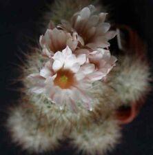 Escobaria zilziana Hardy Ball Cactus SEEDS!