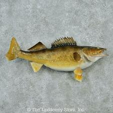"#12830 E | 23"" Walleye Pike Freshwater Taxidermy Fish Mount - Northern"