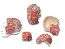 3B Scientific MAC07 - MEDart Head w/ Neck Painted face Anatomical Model (MAC 07)