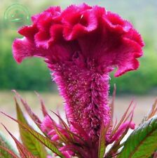 Bulk Seed 100 Giant Cockscomb Seeds Celosia Cristata For Garden