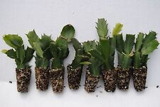 "Set #8 Christmas Cactus Starter Plants ""8 Named Varieties"" *8 Different Colors*"