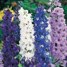 Delphinium Pacific Giants 'Round table mix Appx 30 seed