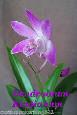 "Dendrobium Kingianum, Orchid, Purple, Exotic Import, Blooming size in 3""pot"