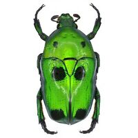 Heterorrhina sexmaculata ONE REAL GREEN BLACK SCARAB BEETLE UNMOUNTED PACKAGED