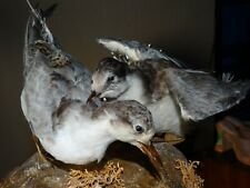 Taxidermie couple oiseaux gris blanc, grand bec  empaillé naturalisé curiosité