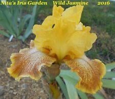 """1 """"Wild Jasmine"""" Gorgeous Tall Bearded Iris Rhizome"""