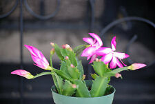 "Live Rare Pink Christmas Cactus Plant - Zygocactus - 4"" Pot Mature Indoor House"
