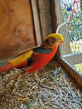 6 Red Golden 3 lady amherst Pheasant Hatching Eggs purebred!