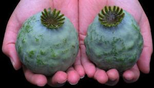 The Giant Poppy - 50+ seeds - Semillas - Graines - Samen