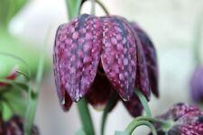 Schachbrettblume 30 Sa. Fritillaria meleagris Schachblume Kiebitzei lila Staude