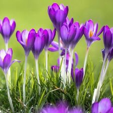 100Pcs Crocus Seeds Sativus Flower Bulbs Saffron Flowers Get Best Spice Organic