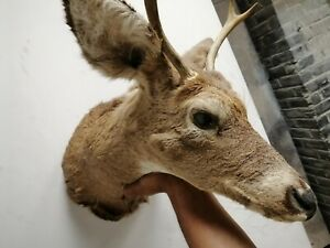 Deer Head Taxidermy shoulder Mount large