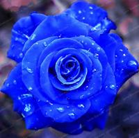 Rare Blue Rose Flowers Plants Perennial Bonsai Home Garden NEW 2019 50 Pcs Seeds