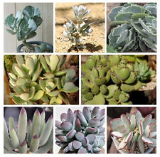 Cotyledon Mix 10 SEEDS  * Exotic Cute Rare succulent * CombSH C41
