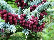 Spanish Fir (Abies pinsapo) - 30 Seeds/Bonsai or Ornamental