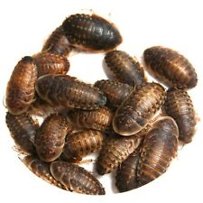 Large Dubia Roaches - 2cm to 3cm - 5 to 50 - Free Shipping Roach Live Food