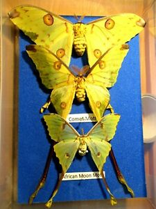 StoreBox 10 (3) Tropical Butterfly Moths Insect Lepidoptera Taxidermy Entomology