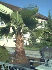 winterharte nordamerikanische Riesen-Palme Washingtonia filifera schnellwüchsig