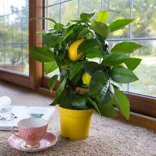 Lemon Tree Seeds- PEAR LEMON - MEDICINAL BENEFITS - Helps Weight Loss - 10 Seeds