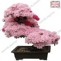 RARE Cherry Blossom Bonsai, Japanese Sakura Tree - 10 Viable Seeds - UK Seller