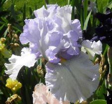 """1 """"Oasis Aaron"""" Huge Lavender/White Gorgeous Tall Bearded Iris Rhizome"""